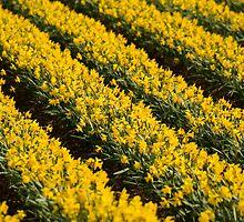 Daffodils by Gabor Pozsgai