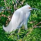 Snowy Egret in Breeding Finery by Delores Knowles