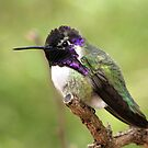 Costa's Hummingbird ~ Male II by Kimberly Chadwick