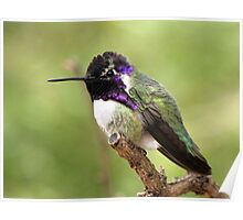Costa's Hummingbird ~ Male II Poster