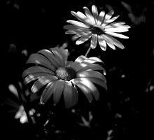 Dasies in B&W by Lozzar Flowers & Art