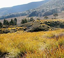 Button Grass ,Cradle Mountain,Tasmania, Australia. by kaysharp