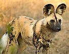 African Wild Dog Close Up by Michael  Moss