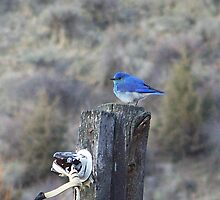 Mountain Bluebird Male by © Betty E Duncan ~ Blue Mountain Blessings Photography