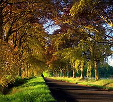 Copper Beech Avenue by Angus Clyne