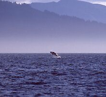 Killer Whale Breaching in Alaskan Waters by Wayne Hughes