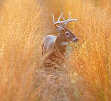 White-Tailed Buck at Sunset by Wayne Hughes