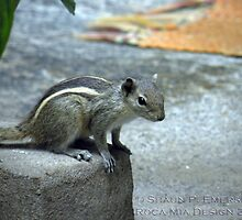 Curiosity - Indian Squirrel by rocamiadesign
