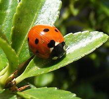 ladybird by amylw1