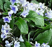 periwinkle? by CMcCoy