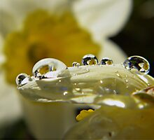 Water Drop Daffodils by Shelly Harris