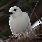 Lord Howe Island White Tern Sitting on a Norfolk Pine  by Robert Stephens
