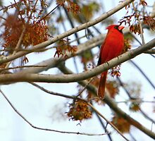 Cardinal at Twilight by Lisa G. Putman