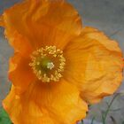 orange californian poppy flower by MichelleRees