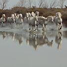 Camargue horses by Ann Heffron