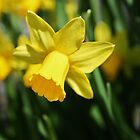 Yellow Daffodil by artsandherbs