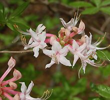 Rhododendron canescens by rd Erickson