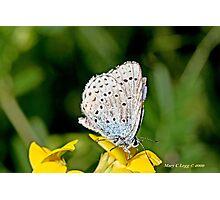 Zephyr Blue,  plebeius pylaon Photographic Print