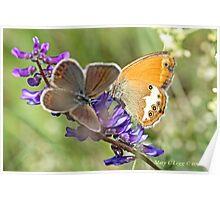 Female Idas Blue, plebejus idas  and Pearly Heath,Coenonympha arcania   Poster