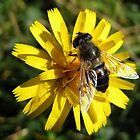 Hoverfly on a Yellow Flower by Carol Bleasdale