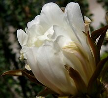 White Cactus Flower - Scientific Name: Echinopsis spachiana by Lucinda Walter
