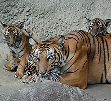 Malayan Tigers by Kathy Newton