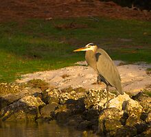 Blue Heron in crouch by Bigart32