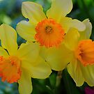 Daffodils by Kathleen Struckle