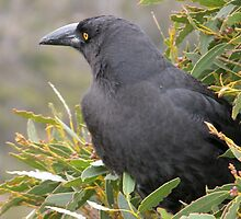 Currawong  in a gum tree, Cradle Mountain, Tasmania, Australia. by kaysharp