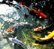 Coy Fish and coins at Taronga Zoo by DStewart1
