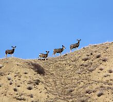 Mule Deer on the Coulee by Alyce Taylor