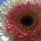 Pink-white gerbera by Anthemis