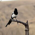 Magpie Out on a Limb by Alyce Taylor