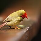 One of those little Finch things with a red face... by Graham Jones