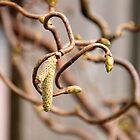 Corkscrew Hazel by Copperhobnob