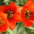 Orange Tulips by Loisb
