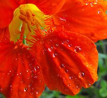 Nasturtium  After A Heavy Down Pour by Tracy Faught