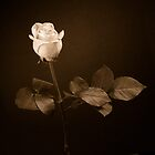 Remembrance, the white rose  by clckac