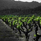 Vineyard by jparks