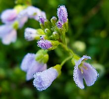 Spring Dewdrops on Purple Flower by bpennphoto