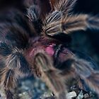 Chilean Rose Tarantula  by Christopher Wardle-Cousins