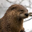 Otter, Slimbridge by Matthew Walters