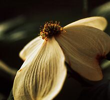 Single Dogwood Blossom by Jay Gross