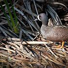 Blue-Wing Teal by WiredMarys