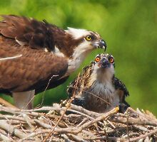 An Osprey Feeding a Chick by Wayne Hughes