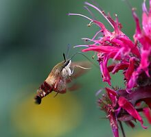 Hummingbird Moth In The Beebalm by Gary Fairhead