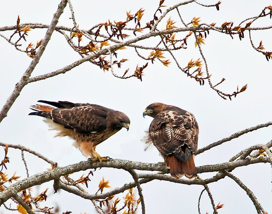 Red Tailed Hawk Mates by David Friederich