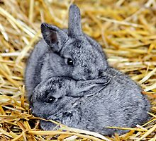 Grey Bunnies by AnnDixon