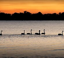 Black Swans by Michael Howard