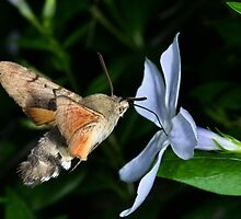 Hummingbird hawk moth by jimmy hoffman